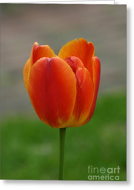 Tulip Collection Photo 8 Greeting Card