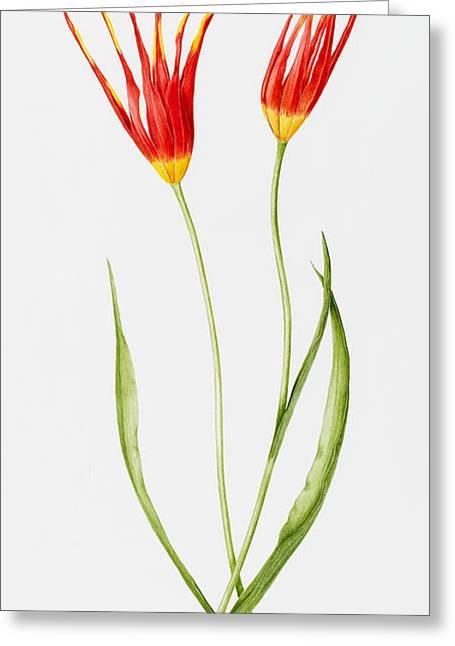 Tulip Accuminata Greeting Card by Sally Crosthwaite