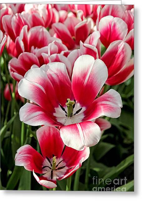 Tulip Annemarie Greeting Card