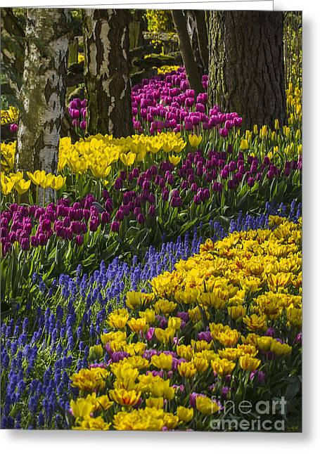 Tulip Beds Greeting Card by Sonya Lang