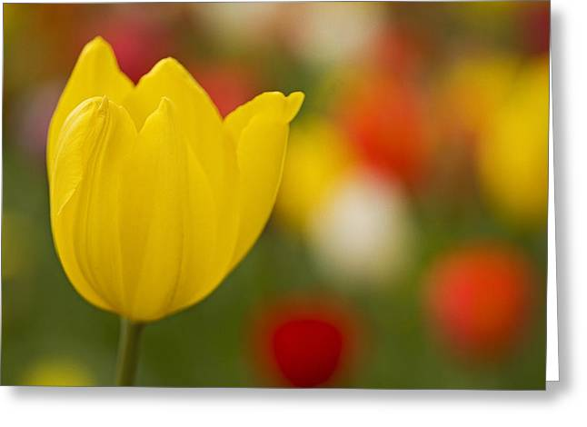 Tulip Bokeh Greeting Card by Nick  Boren