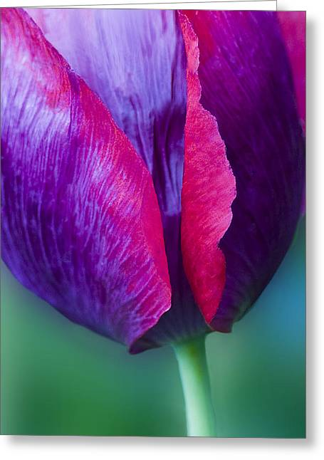 Tulip Bright  Greeting Card