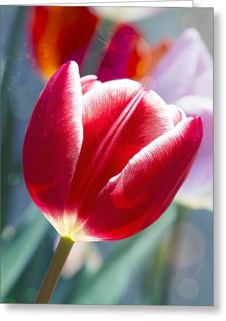 Tulip Daydream Greeting Card