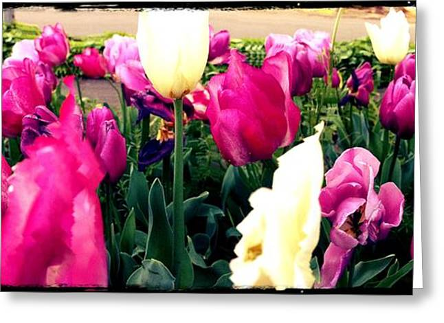Greeting Card featuring the photograph Tulip Delight by Leslie Hunziker