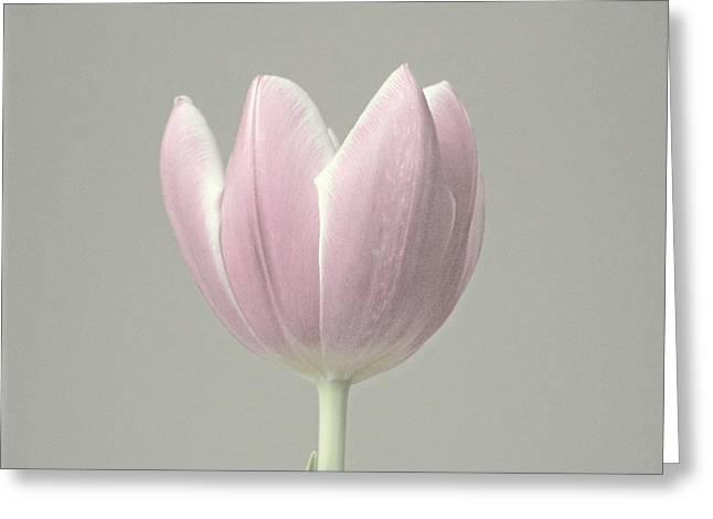 Tulip Fade Greeting Card