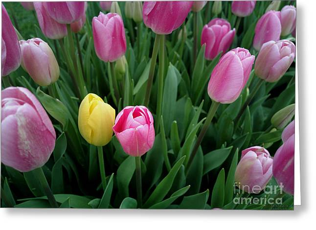 Tulip Festival - 36  Greeting Card