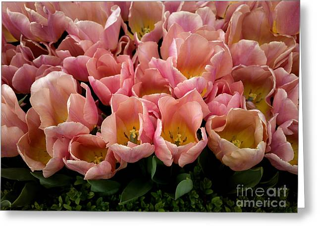 Tulip Festival - 5 Greeting Card