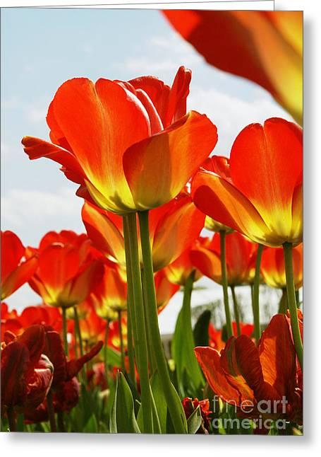 Tulip Field 1 Greeting Card by Rudi Prott