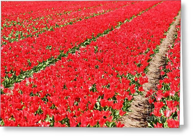 Tulip Fields 3 Greeting Card by Jasna Buncic