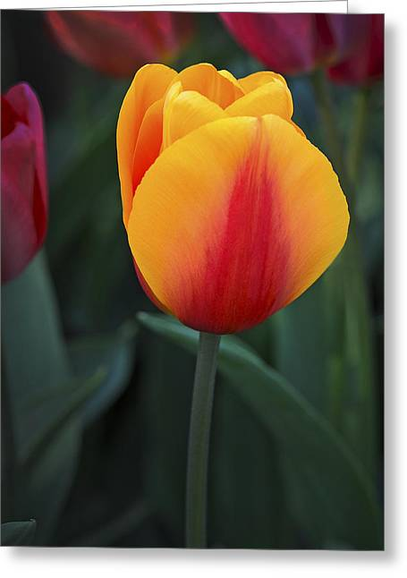 Tulip Flame Greeting Card by David Lunde