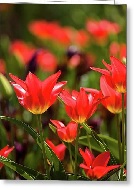 Tulip Flowers In Bloom, Niagara Falls Greeting Card