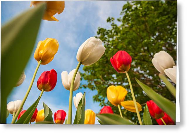 Tulip Forest Greeting Card by Kristopher Schoenleber