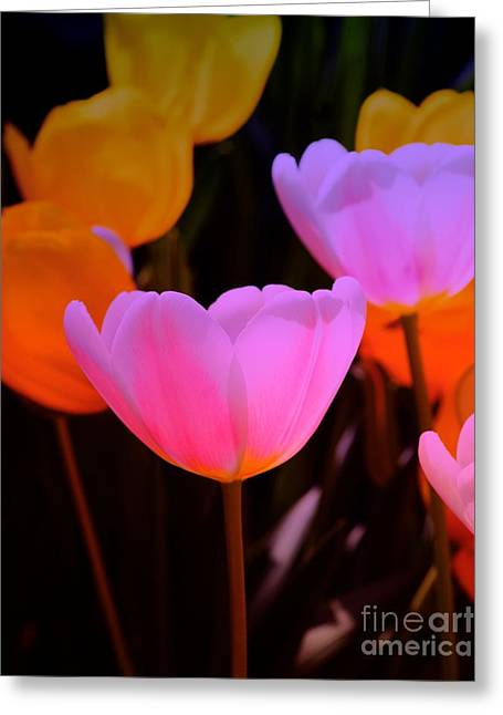 Tulip Glow Greeting Card by Kathleen Struckle