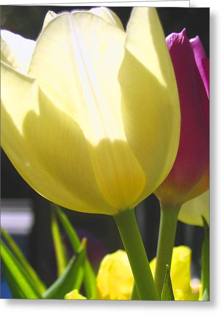 Tulip In Bright Sunlight Greeting Card