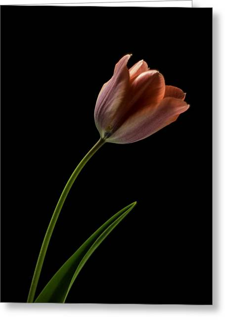 Tulip In Quiet Light Greeting Card