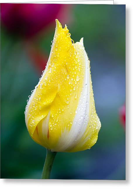Tulip In Rain Greeting Card