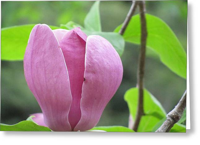 Tulip Love Greeting Card by Stephanie Francis