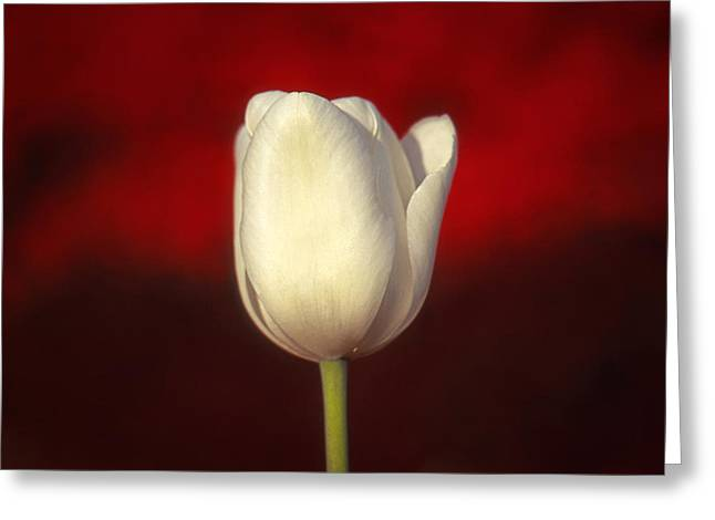 Greeting Card featuring the photograph Tulip by Marion Johnson