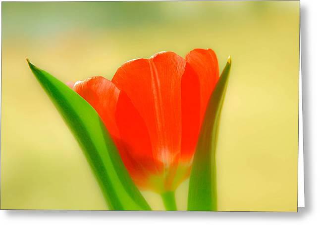 Tulip  Greeting Card by Menachem Ganon