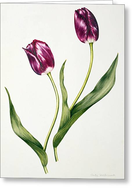 Tulip Negrita Greeting Card by Sally Crosthwaite
