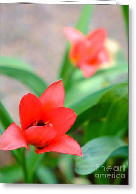 Tulip Of Dream Greeting Card