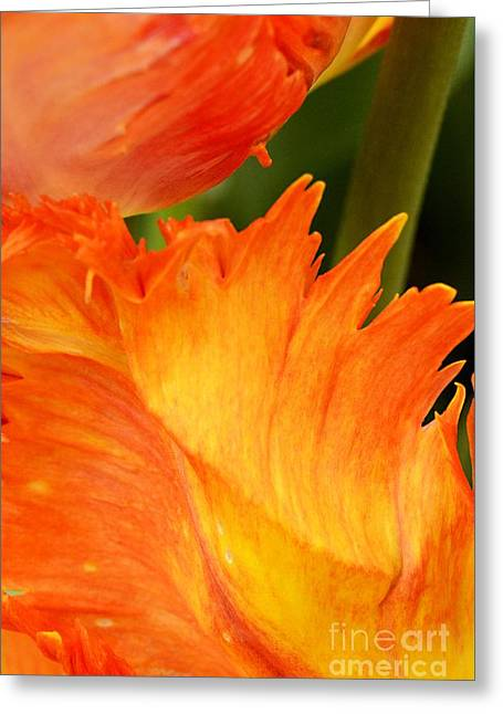 Tulip Greeting Card by Paul W Faust -  Impressions of Light