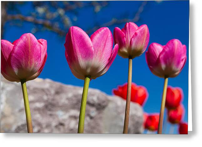 Tulip Revival Greeting Card by Chad Dutson