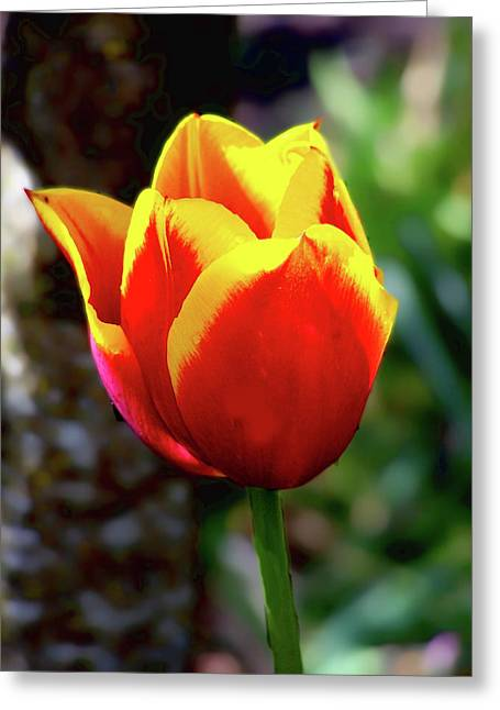 Greeting Card featuring the photograph Tulip by Ron Roberts