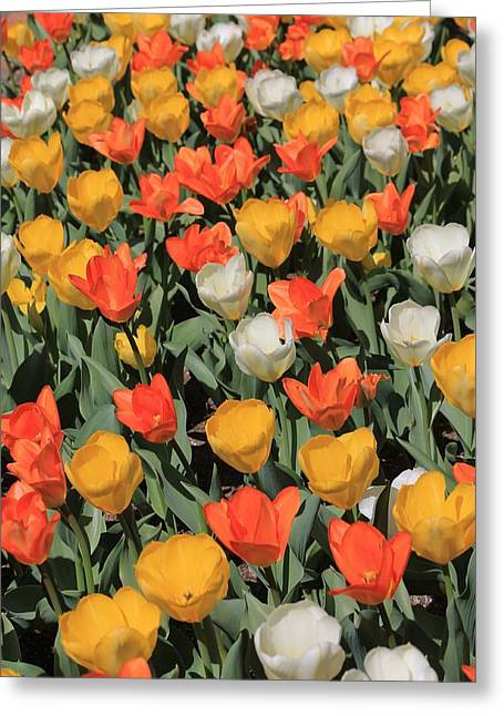 Tulip Stretch Greeting Card