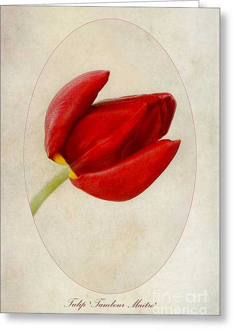 Tulip Tambour Maitre Greeting Card by John Edwards
