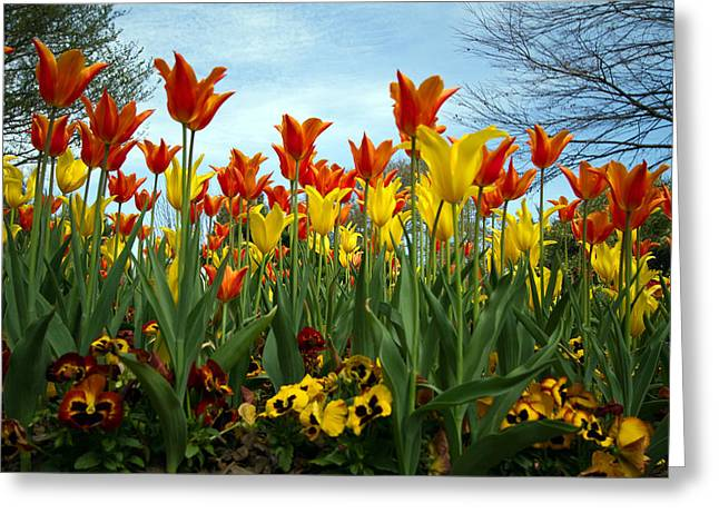 Tulip Time Greeting Card