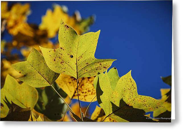 Greeting Card featuring the photograph Tulip Tree In Autumn by Phil Abrams
