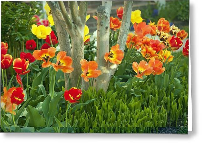 Tulip (tulipa Sp.) Greeting Card