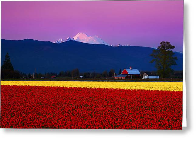 Tulip Twilight Greeting Card