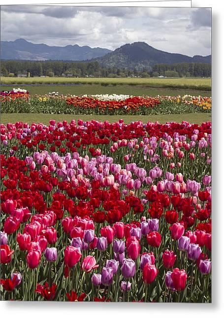 Tulip Vista Greeting Card