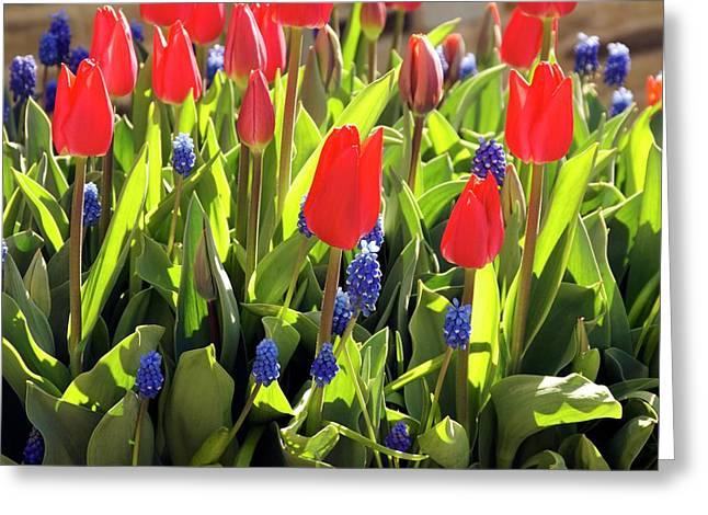 Tulipa And Muscari Greeting Card