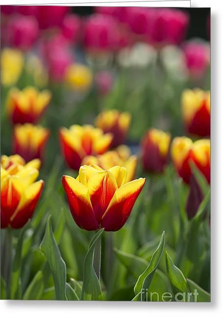 Tulipa Reputation Greeting Card