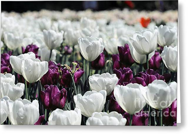 Tulips 3 Greeting Card by Andrea Aycock