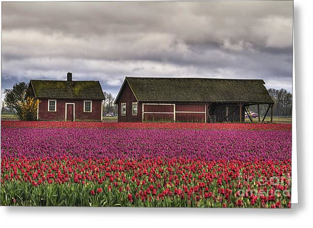 Tulips And Barns Greeting Card by Mark Kiver