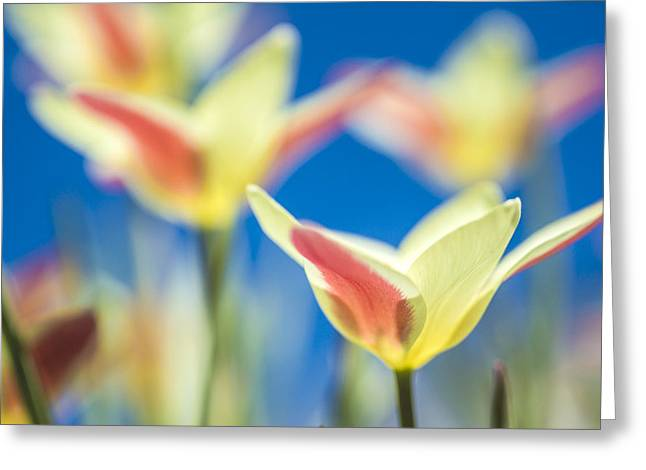Tulips And Blue Sky Greeting Card by Arkady Kunysz