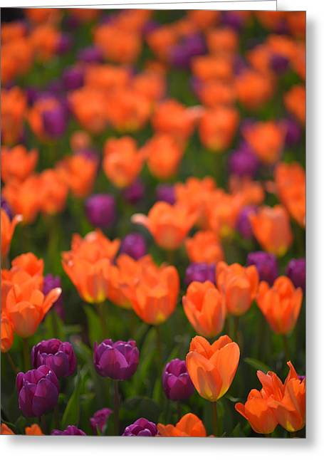 Tulips At Clevelands Botanical Gardens Greeting Card