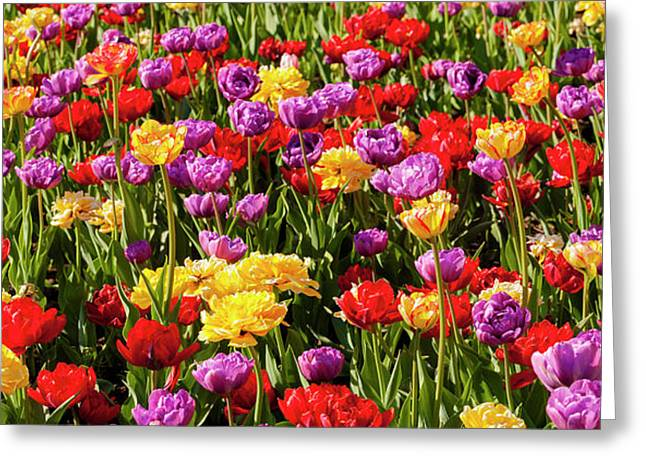Tulips At The Canadian Tulip Festival Greeting Card by David Chapman