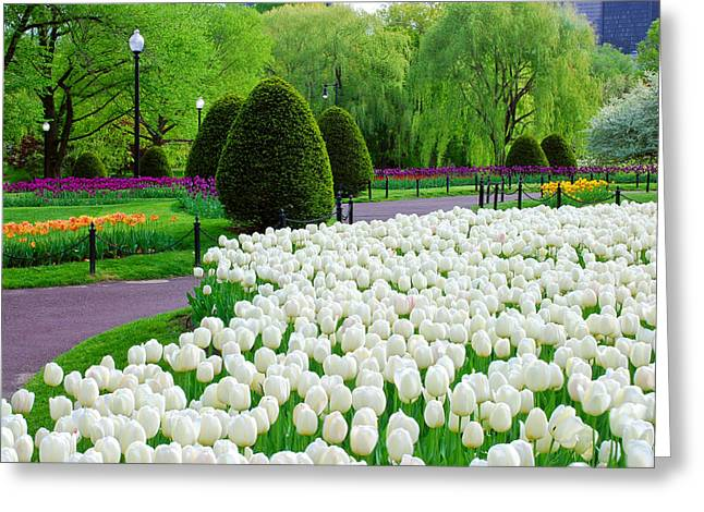 Tulips Boston Public Gardens  Greeting Card