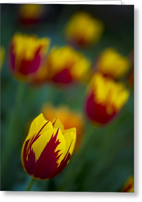 Tulips Greeting Card by Chevy Fleet