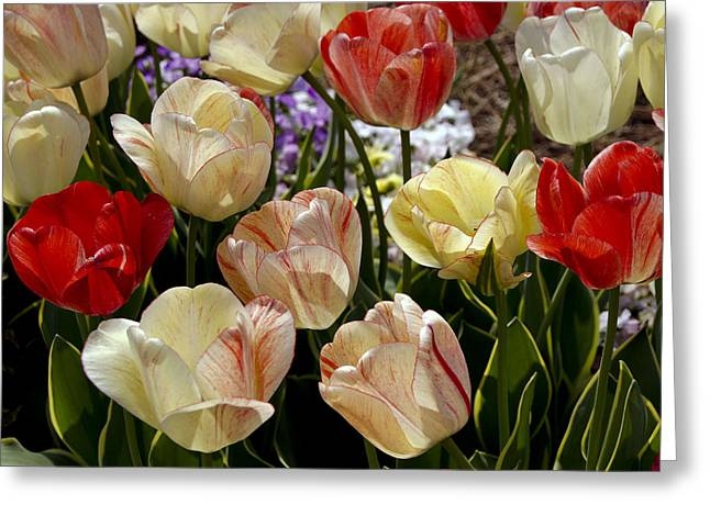 Greeting Card featuring the photograph Tulips by Debra Crank