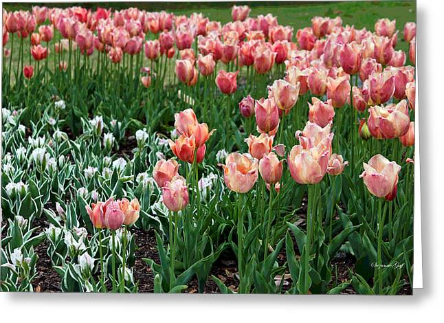Tulips Galore  Greeting Card by Suzanne Gaff