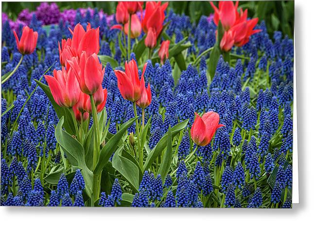 Tulips Growing Amidst Clusters Of Grape Greeting Card