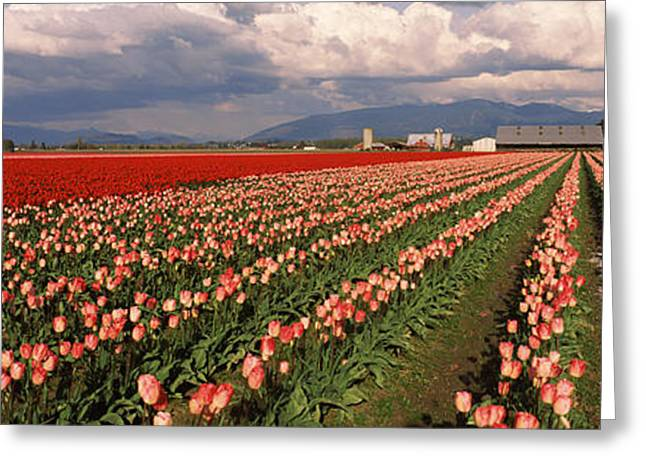 Tulips In A Field, Skagit Valley Greeting Card by Panoramic Images