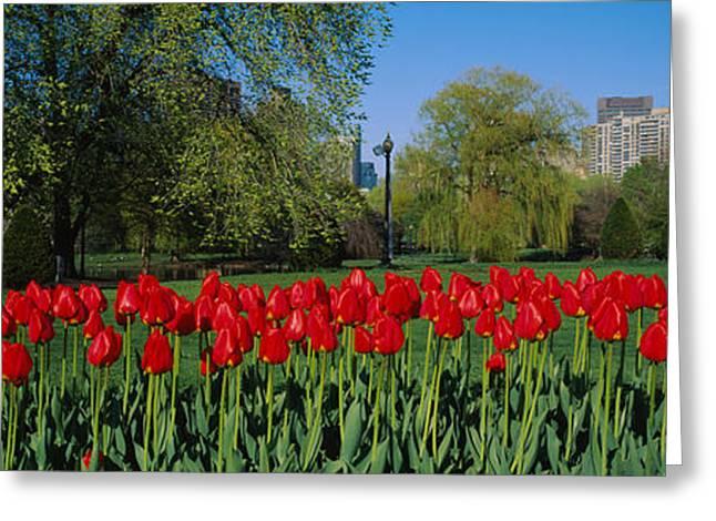 Tulips In A Garden, Boston Public Greeting Card