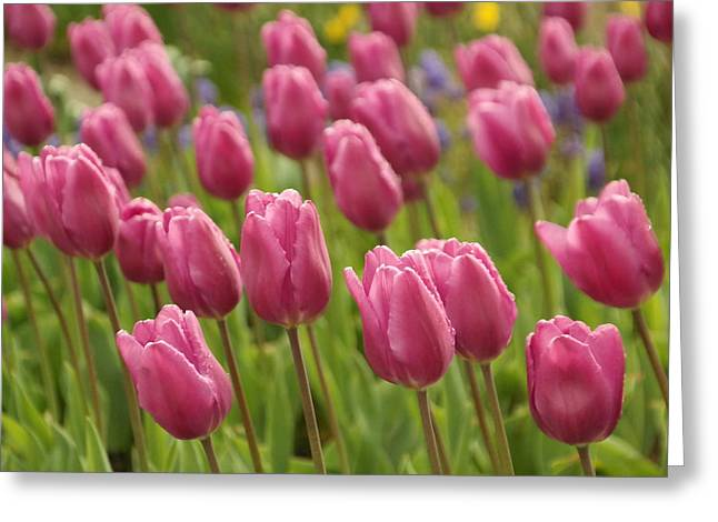 Tulips In A Gentle Breeze Greeting Card by Jeff Swan